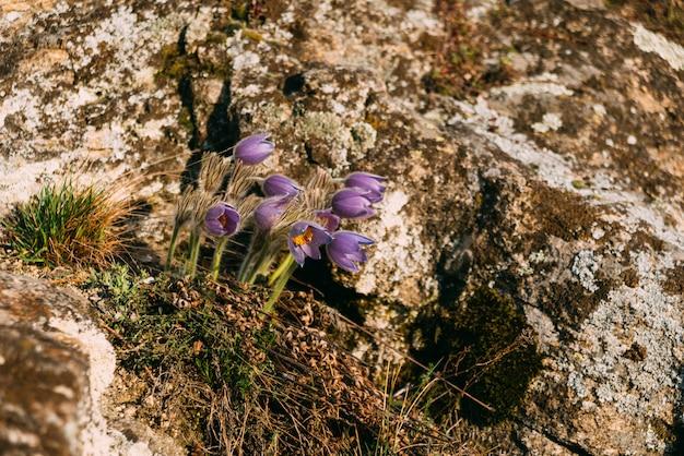 Algumas flores violetas da montanha que crescem em uma rocha.