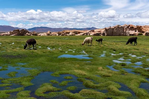 Algumas lhamas pastando no altiplano