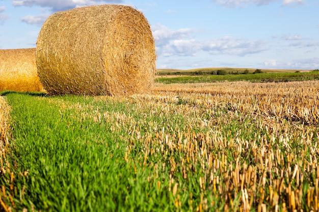 Algumas pilhas de palha no campo da safra de trigo colhida