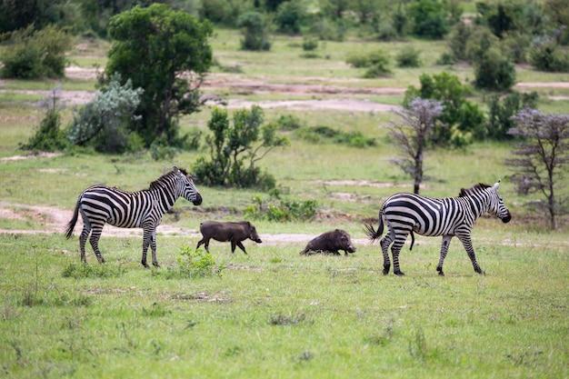 Algumas zebras correm e pastam na savana
