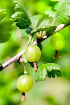 Alguns frutos verdes maduros uma groselha em um galho. foto close-up. profundidade de campo pequena