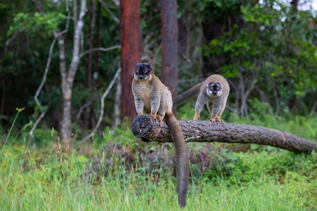 Alguns lêmures marrons brincam no prado e no tronco de uma árvore esperando pelos visitantes