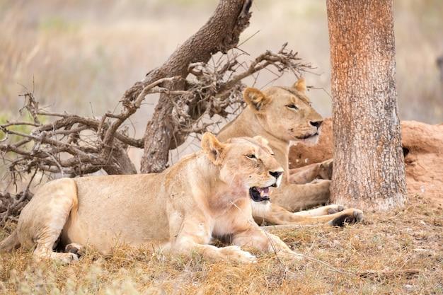 Alguns leões descansam à sombra de uma árvore