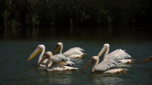 Alguns pelicanos relaxantes no lago