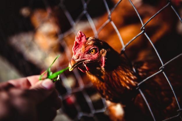 Alimentando galinhas na exploração avícola