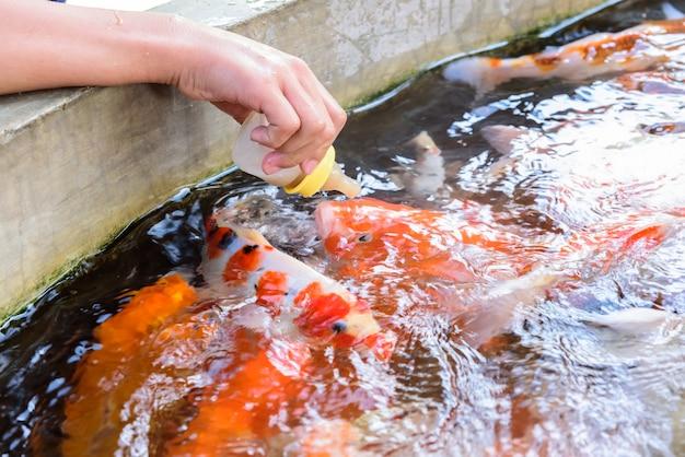 Alimentar peixe carpa por garrafa de leite na fazenda de carpa