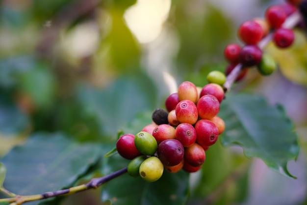 Alimentos crus de grãos de café frescos de boas bebidas naturais