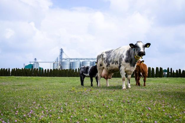 Alimentos para animais domésticos e conceito de criação de vacas, silos ou armazenamento de alimentos em segundo plano.