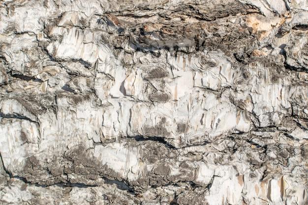 Alívio natural e textura áspera da casca do vidoeiro velho