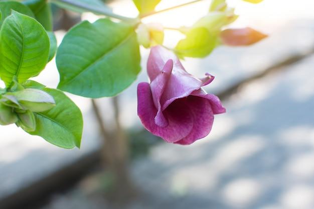 Allamanda blanchetii flor com luz suave.