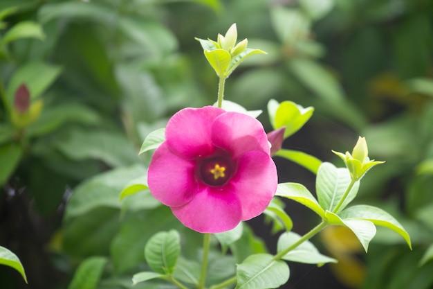 Allamanda cathartica flor ou estrela flor no jardim com fundo desfocado