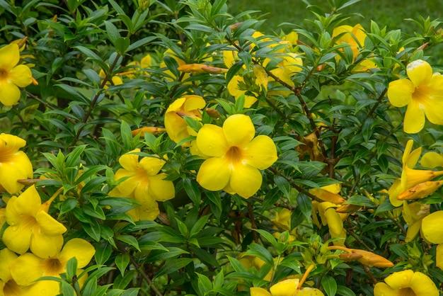 Allamanda está dividindo a flor amarela.