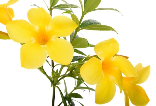 Allamanda flor amarela isolado no fundo branco