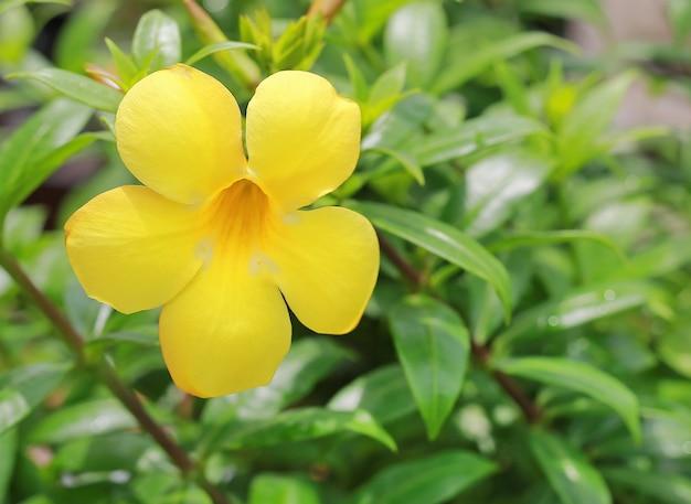 Allamanda flores no jardim