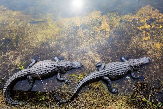 Alligator na flórida