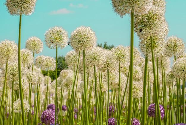 Alliums multicoloridas flores esféricas longas em branco e roxo natureza de verão flores contra o céu lindo campo de flores