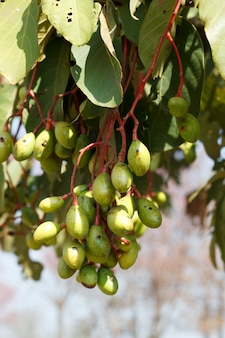 Almendra selvagem na planta, irvingia malayana oliv.