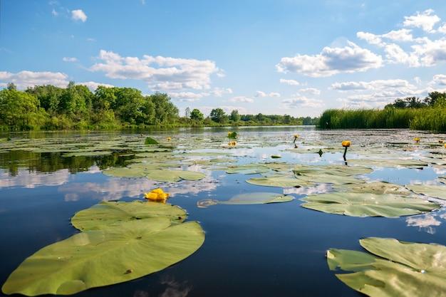 Almofadas de lírio florescendo com folhas grandes no rio. reflexo do céu com nuvens na água