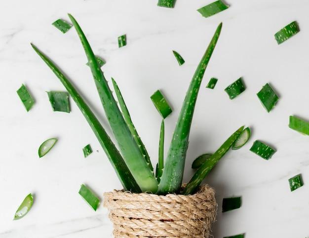 Aloe em panela e cortes