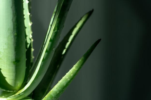 Aloe vera é plantas verdes tropicais toleram clima quente. um fim acima das folhas verdes, aloés vera.