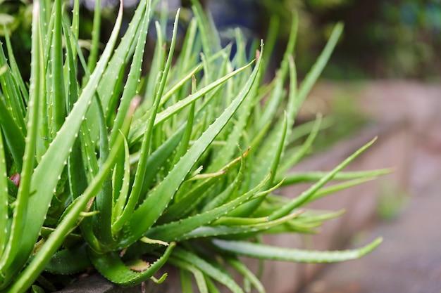 Aloe vera ou cacto estrela com fundo desfocado ervas comumente usadas para tratar a pele