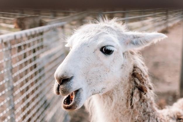 Alpaca branca com close up de boca aberta de um lhama em seu paddock em uma fazenda