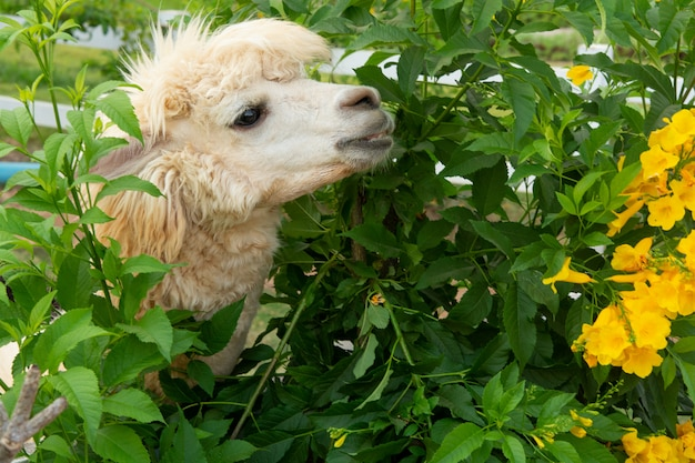 Alpaca branca está gostando de comer uma folha
