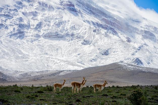 Alpacas pastando perto do vulcão chimborazo