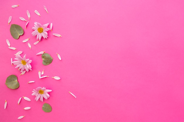 Alto, ângulo, vista, marguerite, margarida, flowers; pétalas e folhas verdes sobre o pano de fundo rosa