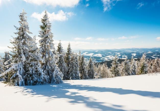 Alto delgado nevado pinheiros crescem em uma colina