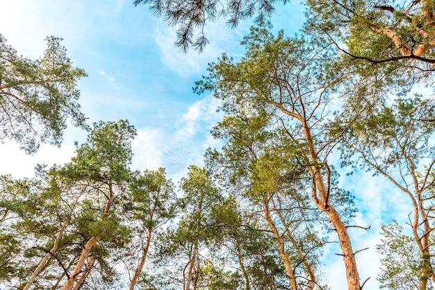 Altos belos troncos de pinheiros na floresta de outono no contexto de um céu azul brilhante. tempo de outono