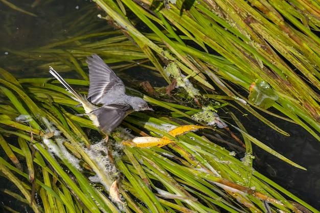 Alvéola-amarela juvenil (motacilla flava) caminhando sobre folhas verdes no rio rother em midhurst