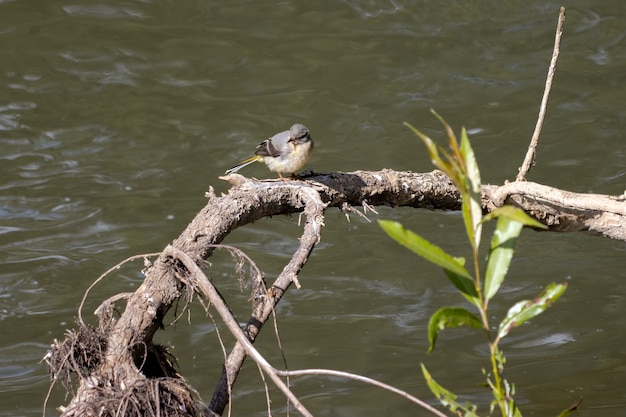 Alvéola-amarela juvenil (motacilla flava) descansando em um braço do rio rother em midhurst