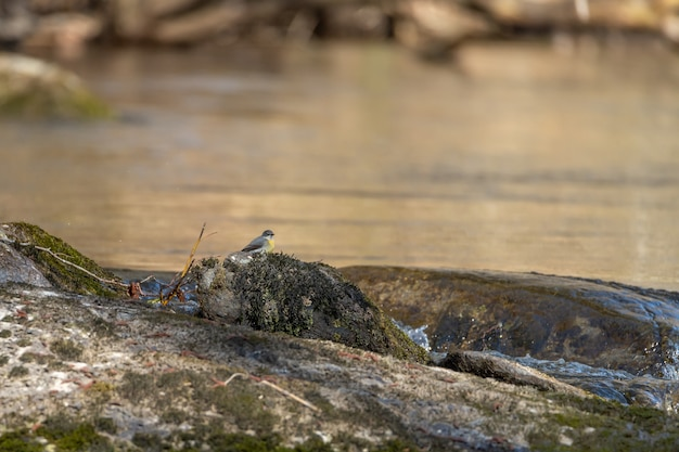 Alvéola-cinzenta (motacilla cinerea) sentada em uma pedra perto do rio