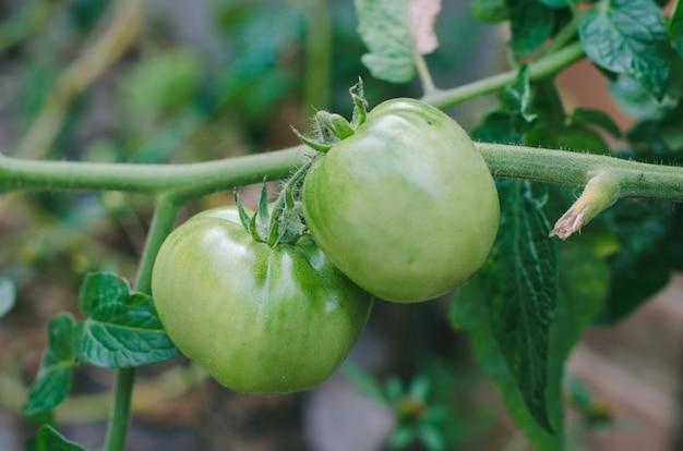 Amadurecendo tomates suculentos