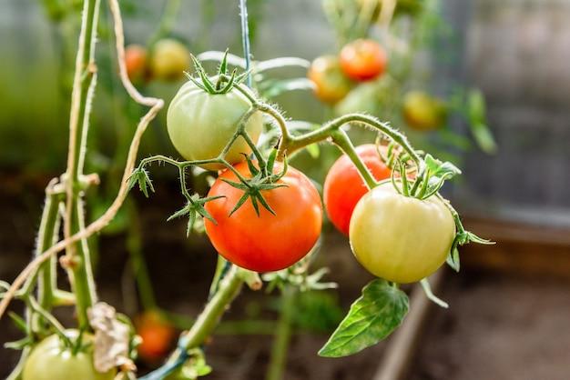 Amadurecimento da colheita de tomates em estufa.