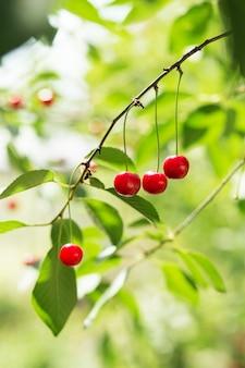 Amadurecimento de cerejas em uma árvore no jardim da fazenda