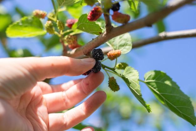 Amadurecimento de frutas no jardim. a mão de uma mulher pega uma suculenta amora madura.