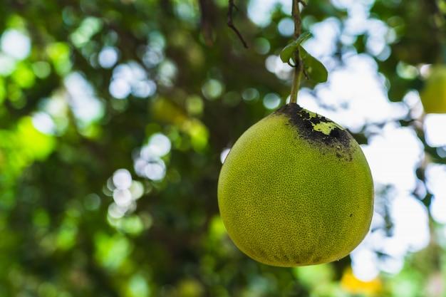 Amadurecimento de frutos de toranja em um galho na primavera nos jardins do chipre