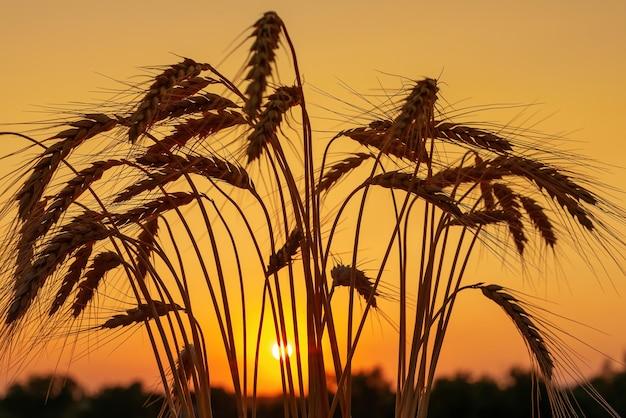 Amadurecimento do campo de trigo ao pôr do sol. espiguetas douradas de trigo.