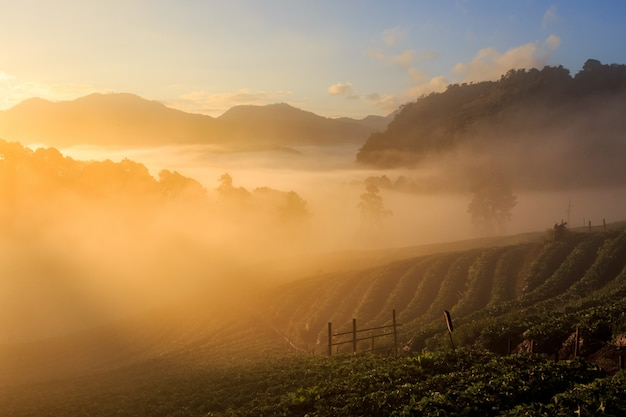 Amanhecer, em, jardim morango, vista, de, manhã, névoa, em, doi, angkhang, montanha, chiang mai, tailandia