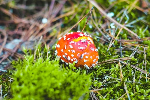 Amanita de cogumelo venenoso com uma tampa vermelha na floresta. perigo agárico para os colhedores de cogumelos.