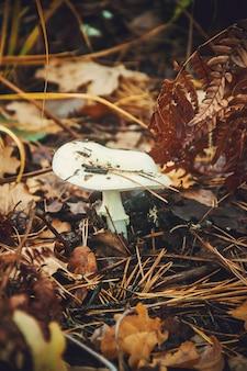 Amanita do cogumelo na floresta. foco seletivo.