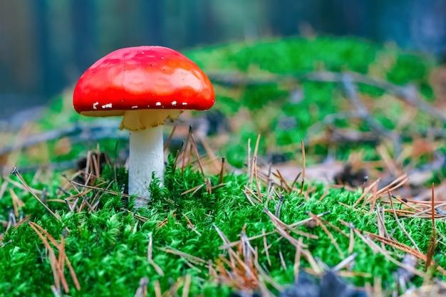 Amanita muscaria. cogumelo agárico-mosca venenoso vermelho na floresta