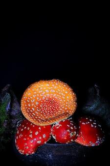 Amanita muscaria na velha panela de ferro. cogumelo venenoso agárico