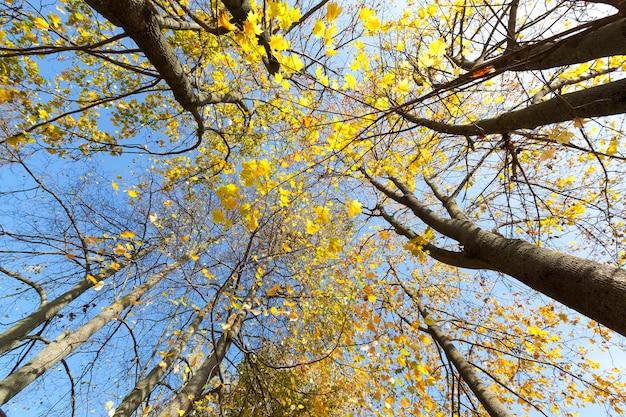 Amarelecimento e mudança de cor nas folhas das árvores no outono, natureza no outono