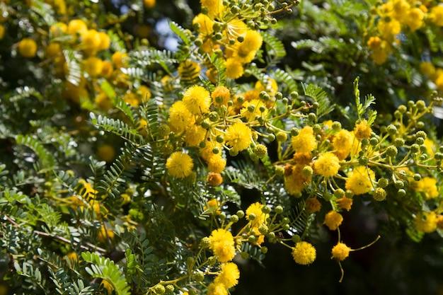 Amarelo florescendo mimosa em uma árvore em um dia ensolarado. acácia prata na cor
