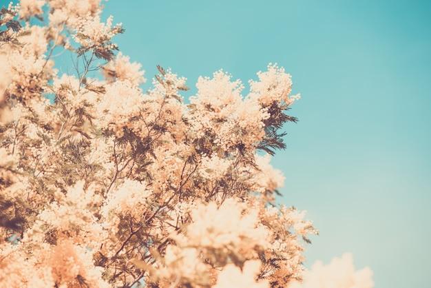 Amarelo, florescer, de, mimosa, árvore, em, primavera