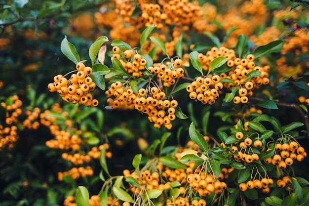 Amarelos aglomerados de rowan