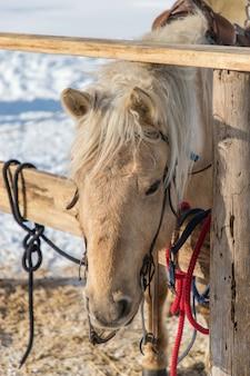Amarrado cavalo castanho claro com a cerca de madeira e neve turva no fundo do chão